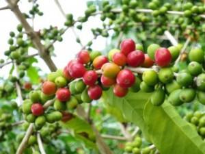 コーヒー豆を生の状態でご覧になったことはありますか?隠れ家カフェクマロマ