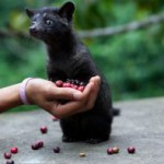 クマロマで幻のコーヒー豆が飲める!ジャコウネコのコーヒーとも呼ばれる天然の「コピ・ルアック」とは?