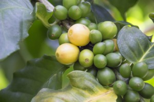 生のコーヒー豆をすりつぶして◯◯を抽出!最近の印象的だったおはなし。