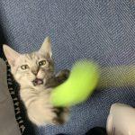 Q.普通の猫からでも【コピ・ルワック】はつくれますか?